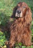 Chien écossais d'épagneul se reposant dans l'herbe Image libre de droits