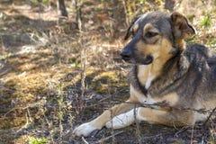 Chien égaré dans les bois, affamé et fatigué Photos libres de droits