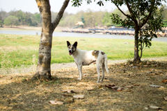 Chien égaré masculin près du Huay Tung Tao Lake /Reservoir ChaingMai Image libre de droits