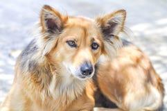 Chien égaré ou chien métis Photo stock