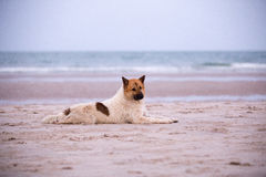 Chien égaré sur la plage Photo stock