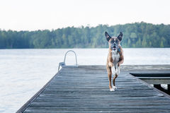 Chien énergique fonctionnant sur le dock au lac Images stock