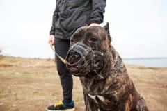 Chien étonnant fort marchant avec le propriétaire dehors Concept d'animal familier Photos libres de droits