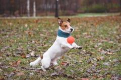 Chien actif jouant avec la boule de jouet au parc d'automne Photo stock