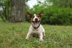 Chien adorable de Jack Russell Terrier images stock