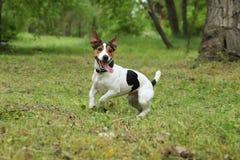Chien adorable de Jack Russell Terrier photos libres de droits