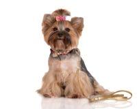 Chien adorable de terrier de Yorkshire Image stock