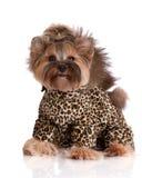 Chien adorable de terrier de Yorkshire dans des vêtements Images libres de droits