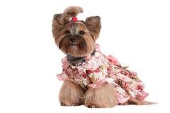 Chien adorable de terrier de Yorkshire dans des vêtements Photos stock