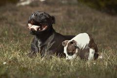 Chien adulte de bull-terrier du Staffordshire avec l'ami pelucheux Images libres de droits