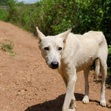 Chien africain au Cameroun Photo stock