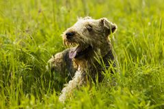 Chien airedale Images stock