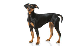 Chien allemand de pinscher Photo libre de droits