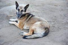 Chien allemand de shepard avec le bâton dans sa bouche image libre de droits