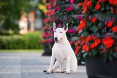 Chien anglais blanc de bull-terrier posant en parc Images stock