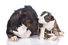 Chien anglais de bull-terrier avec un chiot Photos stock