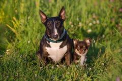 Chien anglais de bull-terrier et un chiot de chiwawa Photos stock