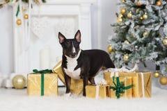 chien anglais de bull-terrier posant à l'intérieur pour Noël Image stock