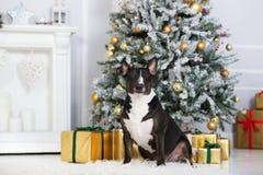 Chien anglais de bull-terrier posant pour Noël Photographie stock