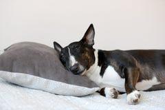 Chien anglais de bull-terrier se trouvant sur le lit Photographie stock