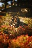 Chien appréciant les couleurs d'automne Image libre de droits
