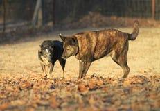Chien australien de bétail avec la boule et chien de berger néerlandais jouant en automne la lumière d'or Image libre de droits