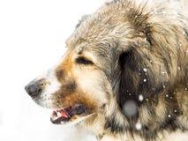 Chien aux cheveux longs dans la neige Images stock