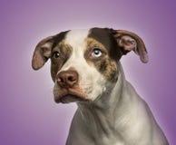 chien aux yeux impairs de croisement regardant loin, Image libre de droits