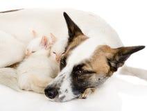 Chien avec des chatons dormant ensemble Sur le fond blanc Image stock