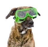Chien avec des protecteur de lunettes D'isolement sur le fond blanc Photo libre de droits