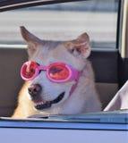 Chien avec des verres dans une fenêtre de voiture Photo libre de droits