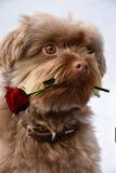 Chien avec la rose de rouge Photo libre de droits
