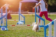 Chien avec le maitre-chien courant en concurrence d'agilité Photos stock