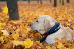 Chien avec les feuilles d'automne jaunes Photos stock