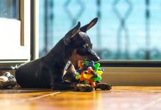 Chien avec sa boule préférée et coloré partout Photo stock