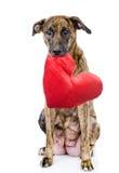 Chien avec un coeur rouge D'isolement sur le fond blanc Photos stock