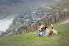Chien avec un jouet dehors Jack Russell Terrier actif photos libres de droits