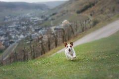 Chien avec un jouet dehors Jack Russell Terrier actif images libres de droits