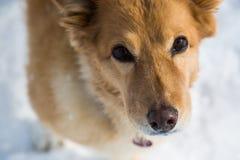 Chien avec un regard fidèle, chien brun Photo stock
