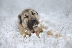 Chien beige de Sivas Kangal de couleur dormant dans la neige Image libre de droits