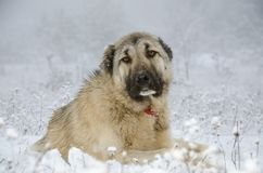 Chien beige de Sivas Kangal de couleur dormant dans la neige Photographie stock