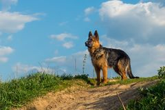 Chien, berger allemand se tenant sur une route de campagne et examinant la distance Photographie stock libre de droits