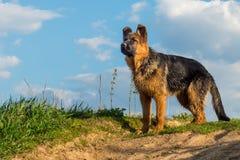 Chien, berger allemand se tenant sur une route de campagne et examinant la distance Photo stock