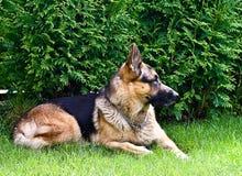 Chien, berger allemand, se trouvant sur l'herbe verte pendant l'été Image libre de droits