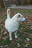 Chien blanc amical se tenant sur l'herbe, et paysage d'automne à l'arrière-plan Photos libres de droits