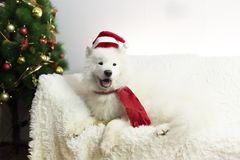 Chien blanc dans une écharpe et un chapeau rouges images libres de droits