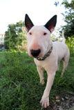 Chien blanc de bull-terrier anglais dans le jardin extérieur, un bel environnement naturel Le chien blanc de bull-terrier marche  Photographie stock