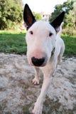 Chien blanc de bull-terrier anglais dans le jardin extérieur, un bel environnement naturel Le chien blanc de bull-terrier marche  Photos libres de droits