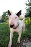 Chien blanc de bull-terrier anglais dans le jardin extérieur, un bel environnement naturel Le chien blanc de bull-terrier marche  Image libre de droits