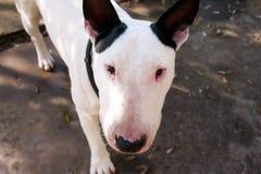 Chien blanc de bull-terrier anglais dans le jardin extérieur, un bel environnement naturel Le chien blanc de bull-terrier marche  Images stock